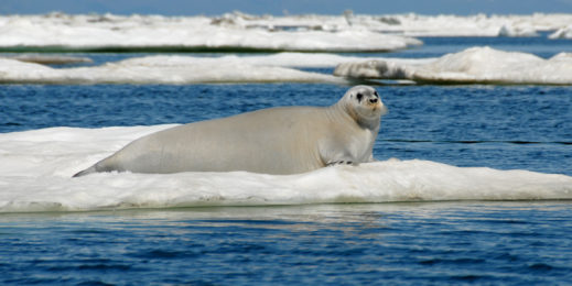 A large white seal suns itself on ice amid a blue sea