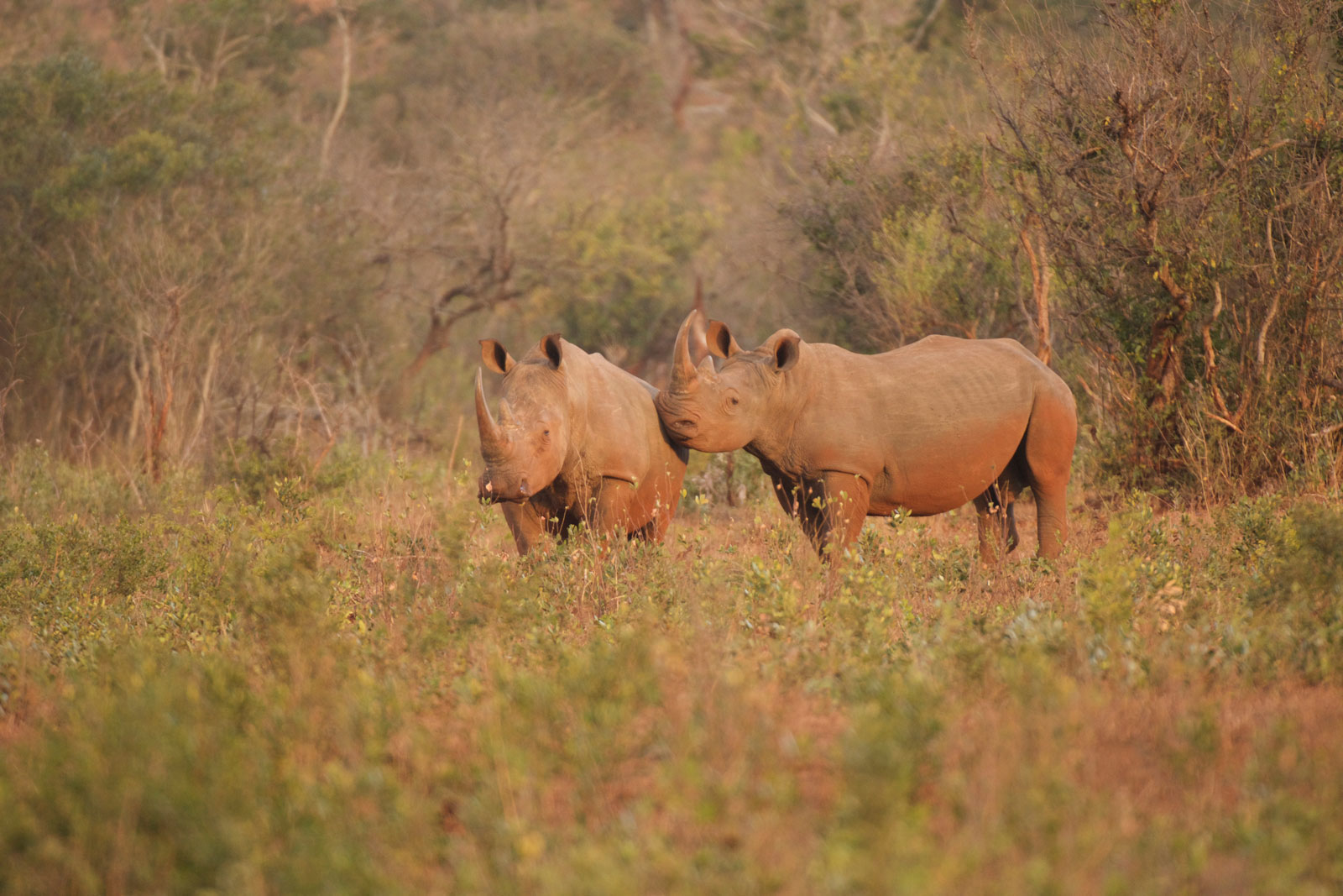rhinos were poached in South Africa. Peace Parks is working hard to fight the scourge of poaching using technology like AI