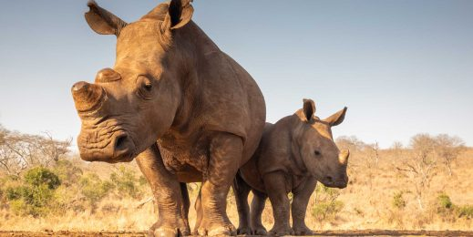 A white rhinoceros and her calf stand before a watering hole.