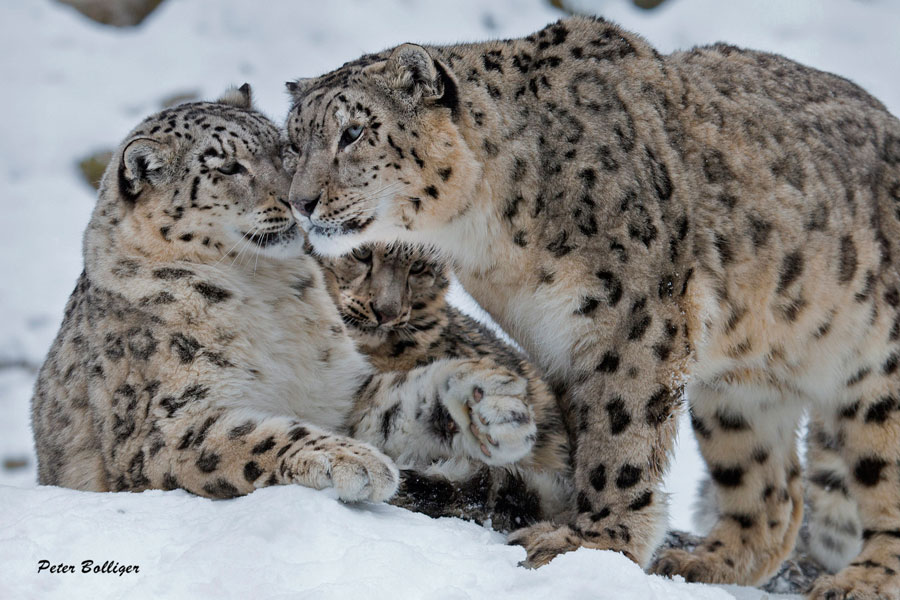 Two captive snow leopards nuzzle one other while a third looks on