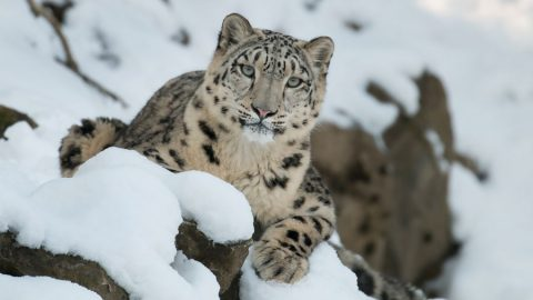 snow leopard on snow