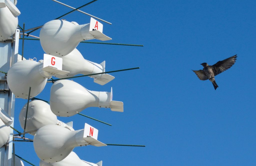 "Tiny smart homes for purple martins are mounted on tall poles nicknamed ""bird resorts"" by Disney conservationists."