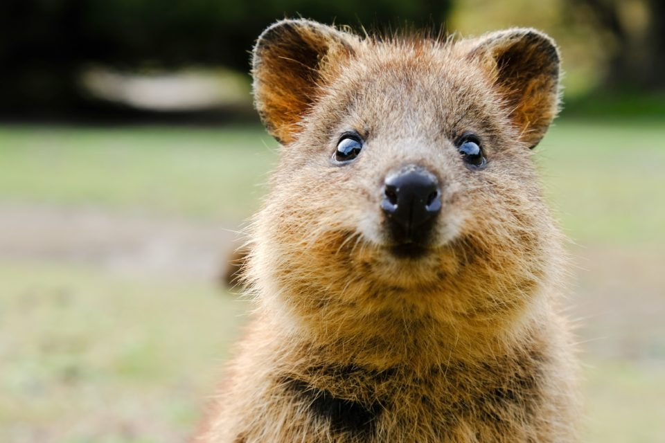Cute but vulnerable: Scientists to use drones, cloud, and AI to protect Australia's Quokkas