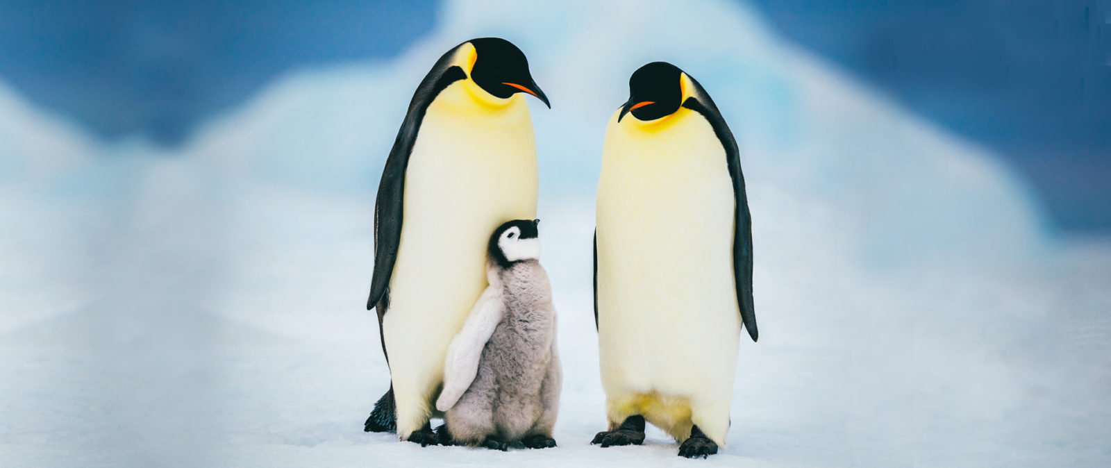 An Emperor penguin chick cuddles up to its parents during a perfect day in Antarctica.