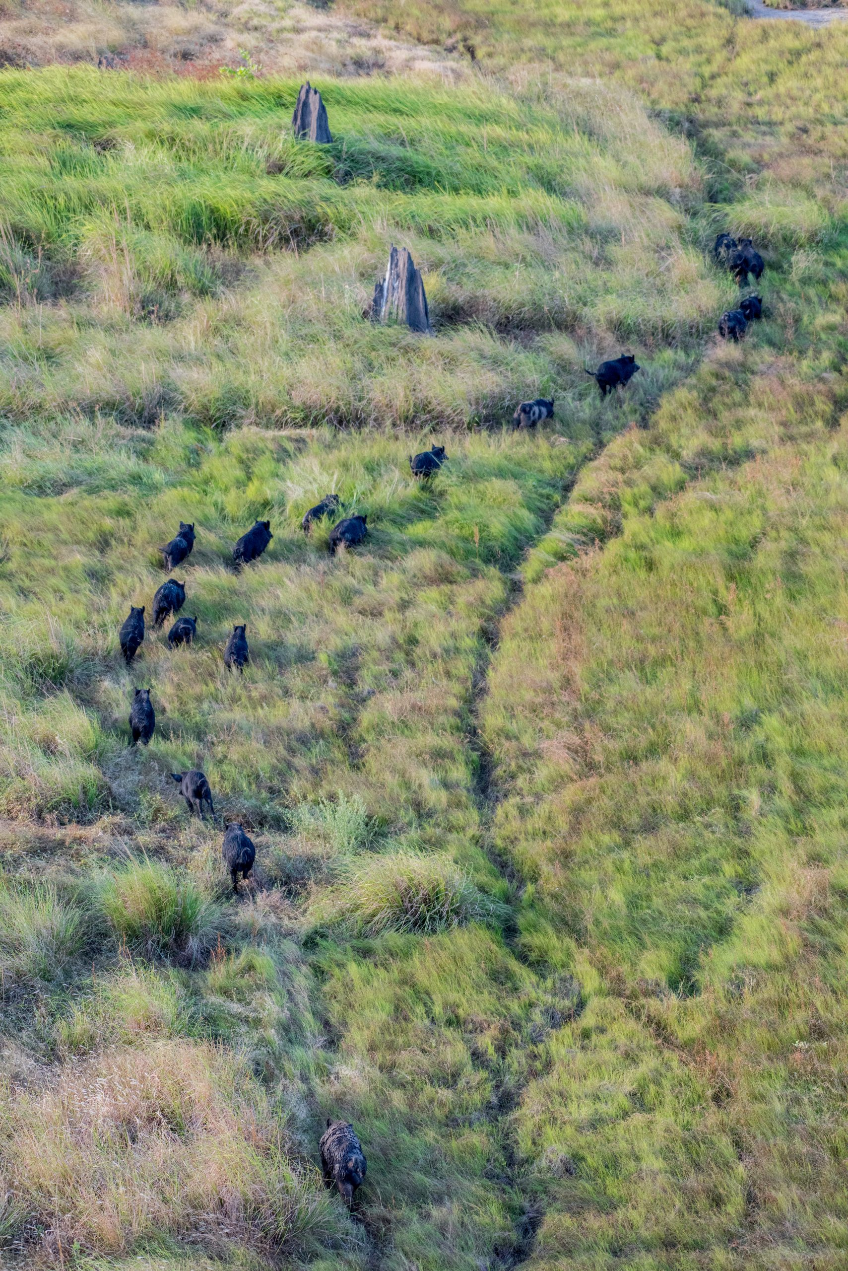Images of feral pigs in grassland